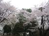 sanosiroyamasakura20050410_26
